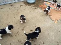 Beautiful full blooded beagle puppies. 8 weeks old.