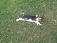 Female Beagle Puppy available for a few of $400. She is