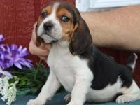 Beagle Puppies for Sale.Registered/registerable,