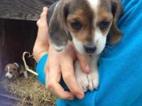-Litter of Purebred Beagle pups -Tri-colored (black,