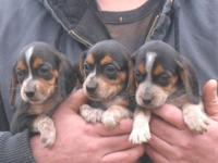 AKC registered beagle pups. I have 3 females in pic of