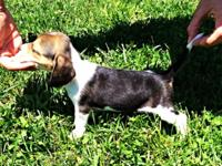 I have a women beagle puppy available. She is $300. She