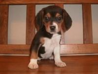 Beagle Puppies, male & & female $500, registerable,