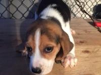 8 week old beagle puppy for sale call frank +1 (917)