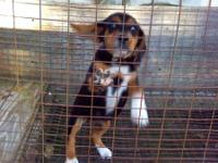 Beagle Puppy Female AKC 10 weels old. Has its first