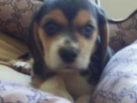Little Emma is a AKC Registered Beagle puppy. Both of