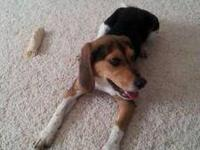 Bailey is a 8 month old pure Beagle. She is healthy,
