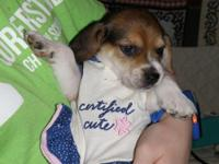 AKC- Meet Rachel, she will be a small 13 inch beagle