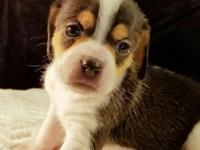 Kayla is a classic tricolor pocket beagle offered