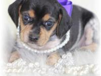 "Remi is a little female ""Olde English"" Pocket Beagle."