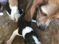 We have great looking Small type pocket beagle Pup that