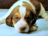 Moses is a classic tricolor pocket beagle offered