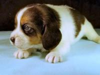 Ozark Beauty is a classic tricolor pocket beagle