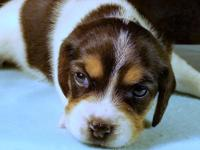 Oscar is a classic tricolor pocket beagle offered