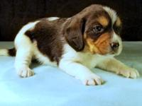 Conner is a classic tricolor pocket beagle offered