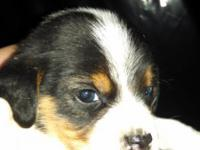 Beagle pups akc. Only 4 left. Weaned, wormed, and first