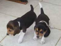 I have two beagle pups for sale, a male and a female.