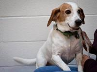 Beagle - Raymond - Medium - Adult - Male - Dog