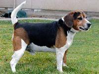 Beagle - Riley - Medium - Adult - Male - Dog Riley is a