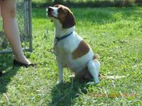 Beagle - Roxy - Medium - Adult - Female - Dog i guess