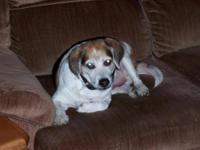 Beagle - Rudy - Medium - Senior - Male - Dog Meet Rudy!