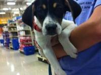 Beagle - Sadie - Large - Baby - Female - Dog Sadie is