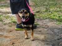 Beagle - Sassy - Medium - Adult - Female - Dog Sassy is