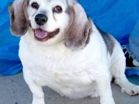 Beagle - Scout - Small - Senior - Male - Dog Scout is a