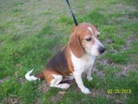 Beagle - Shiloh - Small - Adult - Male - Dog Beautiful,