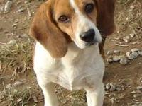 Beagle - Shooter - Medium - Adult - Male - Dog In