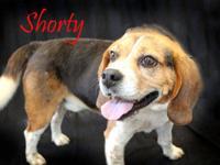 Beagle - Shorty - Medium - Adult - Male - Dog Shorty is