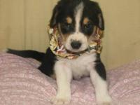 Beagle - Snickerdoodle - Small - Baby - Male - Dog