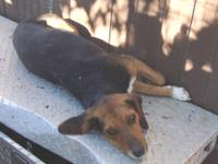 Beagle - Snoopy - Medium - Adult - Male - Dog Snoopy is