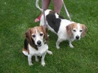 "Beagle - Snoopy - Small - Adult - Male - Dog ""Will you"