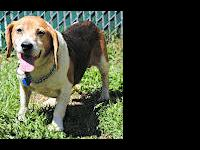 Beagle - Sonny Boy & Daddy - Small - Adult - Male -