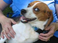 Beagle - Stella And Maggie - Small - Adult - Female -