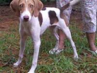 Beagle - Sugar - Medium - Young - Female - Dog Sugar