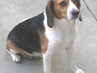 Beagle - Sugar - Small - Young - Female - Dog Sugar is