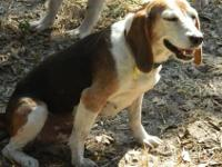 Beagle - Sunshine - Small - Adult - Female - Dog