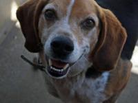 Beagle - Teddy - Small - Adult - Male - Dog Teddy is a