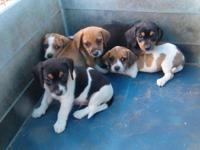 Beagle / Terrier Mix puppies. Black tan and white and