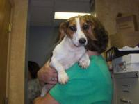 Beagle - Toby - Medium - Adult - Male - Dog Toby is a