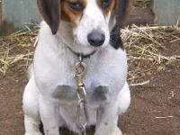 Beagle - Toby - Medium - Young - Male - Dog THIS IS A