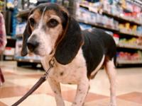 Beagle - Toby8423 - Medium - Adult - Male - Dog Toby is