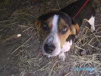 Beagle - Tramp - Medium - Young - Female - Dog