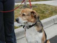 Beagle - Trapper - Medium - Adult - Male - Dog Trapper