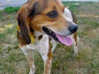 Beagle - Trish - Medium - Adult - Female - Dog All