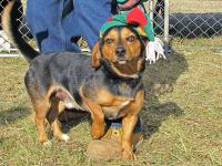 Beagle - Trooper - Medium - Young - Male - Dog Frie