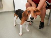 Beagle - Uno - Medium - Adult - Male - Dog My name is