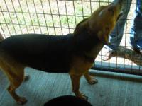 Beagle - Annie - Large - Young - Female - Dog Do want a